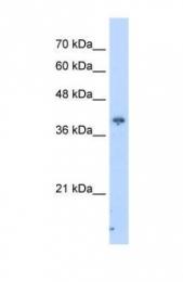 GTX46471 - IPCEF1 / PIP3-E
