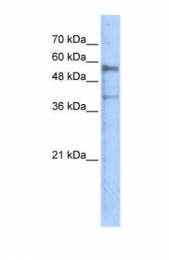 GTX46606 - Kremen protein 1