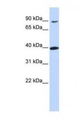 GTX46669 - Olfactory receptor 11H12