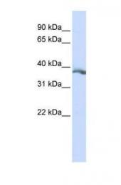GTX46696 - Ectodysplasin-A