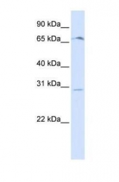 GTX46700 - Olfactory receptor 6C75