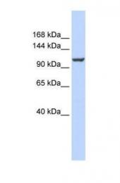 GTX46735 - ATP2B4 / PMCA4