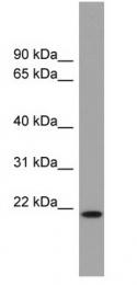 GTX46749 - Cytochrome b-245 light chain