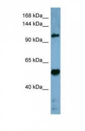 GTX47027 - Cordon-bleu protein-like 1