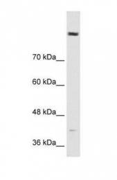 GTX47028 - Cordon-bleu protein-like 1