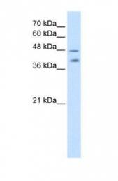 GTX47045 - CD66f / PSG1