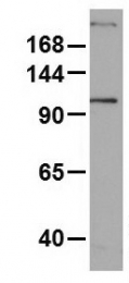 GTX47052 - Myosin-1 / MYH1