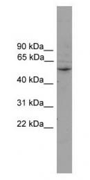 GTX47118 - CYP2A7