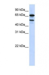 GTX47197 - Splicing factor 4 (SF4)