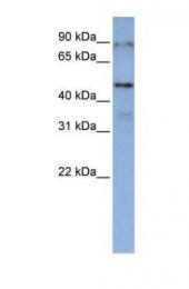GTX47275 - DAZAP1