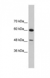 GTX47277 - DAZAP1