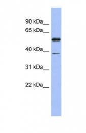 GTX47341 - KHDRBS3