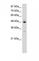 GTX47344 - PAIP1
