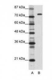 GTX47363 - Nucleolin