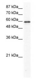GTX47441 - G3BP1 / G3BP