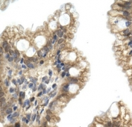 GTX47487 - Nucleobindin-2