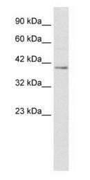 GTX47488 - Nucleobindin-2