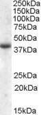 GTX47580 - Apolipoprotein L6 / APOL6
