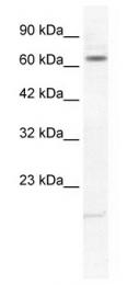 GTX47651 - KCNH6