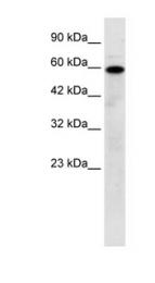 GTX47664 - Mucolipin-1