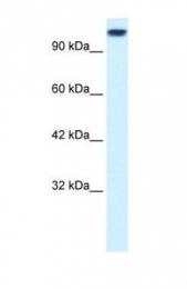 GTX47735 - KIF3C