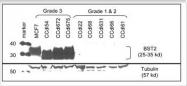 GTX47796 - CD317 / BST2
