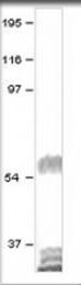GTX47806 - Dopamine D5 receptor