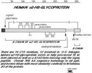 GTX48479 - Alpha-2-HS-glycoprotein