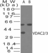 GTX48545 - VDAC2