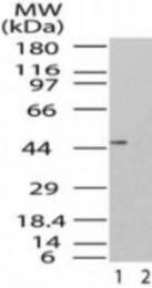 GTX48546 - TARBP2