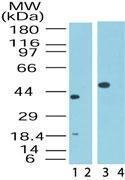 GTX48547 - MIP1