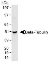 GTX48617 - TUBB / TUBB5