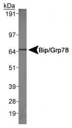 GTX48633 - HSPA5 / GRP78