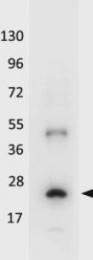 GTX48653 - Interleukin-32 / IL32