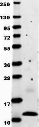 GTX48661 - MCP1 / CCL2