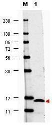GTX48695 - Interleukin-17F / IL17F