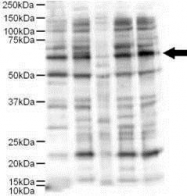 GTX48743 - Protein ajuba / JUB