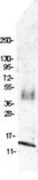 GTX48752 - MIP1 beta / CCL4