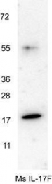 GTX48759 - Interleukin-17F / IL17F