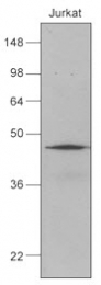 GTX50059 - DNAJB1 / HSP40