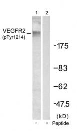 GTX50152 - CD309 / VEGFR-2 / Flk-1