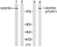 GTX50153 - CD309 / VEGFR-2 / Flk-1