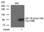 GTX50154 - CD221 / IGF1R