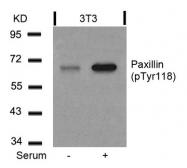 GTX50155 - Paxillin /  PXN