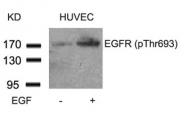 GTX50234 - EGFR / ERBB1