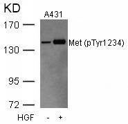 GTX50262 - HGF receptor