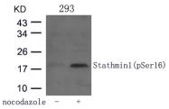 GTX50269 - Stathmin / STMN1
