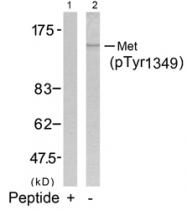 GTX50270 - HGF receptor
