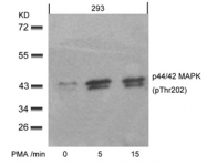 GTX50274 - MAPK3 / ERK1