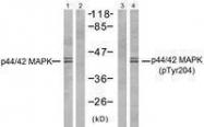 GTX50275 - MAPK3 / ERK1
